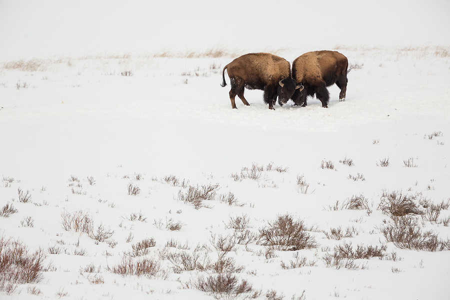 Two bison lock horns standing on a snowy hillside in Yellowstone National Park, Wyoming.