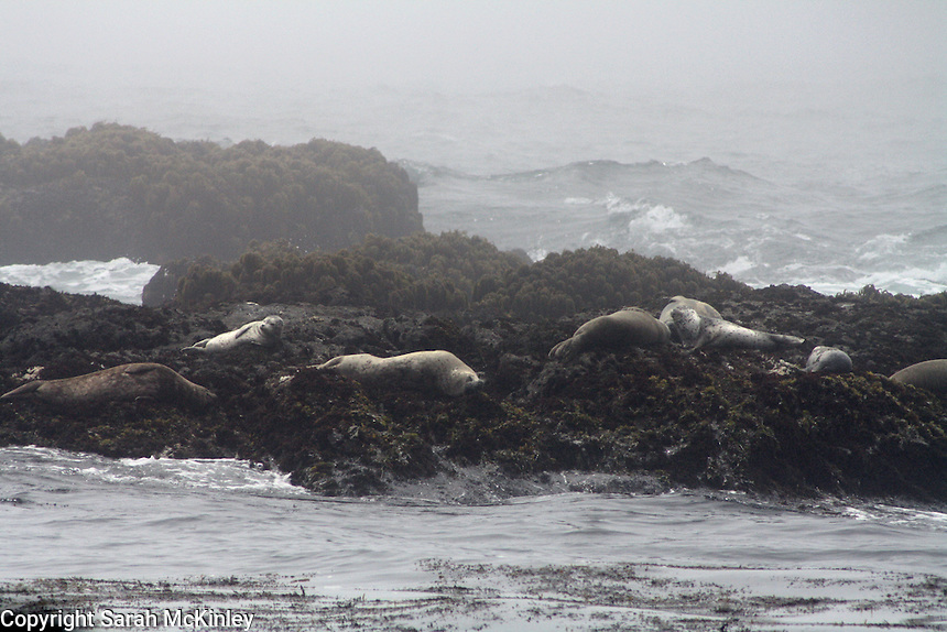 Seals lounge on the rocks of the Pacific Ocean at MacKerricher State Park near Fort Bragg in Mendocino County in Northern California.