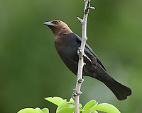 Male Brown-headed Cowbirds have glossy black plumage and a rich brown head that often looks black in poor lighting or at distance.