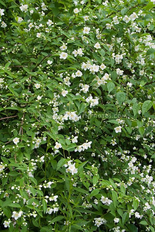 Philadelphus coronarius shrub in white spring fragrant bloom, single flowered mockorange bush