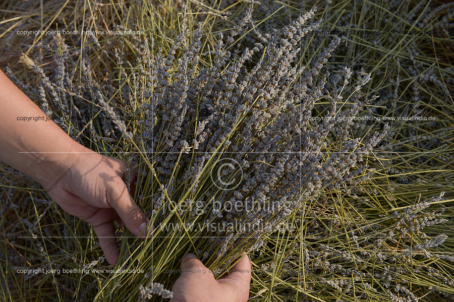 ALBANIA, Shkodra, farming of herbal and medical plants, Lavender field / ALBANIEN, Shkoder, Anbau von Heil- und Gewuerzpflanzen, Lavendel Feld von Firma Agro-Map, Farmer Ilir Gjolaj