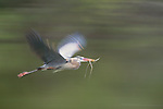 Great blue heron in flight, Florida