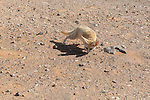 Fennec fox in the Sahara desert, Morocco.