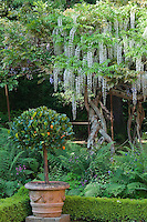 A cascade of white wisteria creates a backdrop for a flowerbed and a clipped orange tree