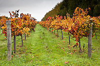Trellis rows with grape leaves displaying the season's orange, red and gold.