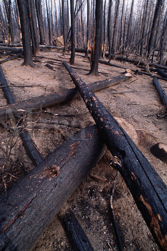 The remains of dead trees burned in a forest fire. Deschutes National Forest, Oregon.