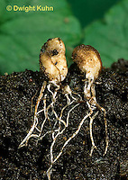 DC32-016a  Webcap (Cortinar) - mushroom buttons showing mycelium strands underground - Cortinarius