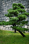 Japanese black pine tree, Pinus thunbergii, in front of stone castle wall in Osaka, Japan