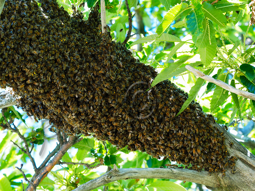 A swarm lands on a branch while waiting to find a habitat. The swarm is made up of the old queen, drones and half the worker bees from the original colony. A few dozen explorer bees set off on reconnaissance flights to search for their new habitat.<br /> Un essaim pos&eacute; sur une branche en l&rsquo;attente d&rsquo;un habitat. Il est compos&eacute; de l&rsquo;ancienne reine, de faux-bourdons et de la moiti&eacute; des ouvri&egrave;res de sa colonie d&rsquo;origine. Quelques dizaines d&rsquo;abeilles exploratrices partent effectuer des vols de reconnaissance &agrave; la recherche d&rsquo;un nouvel habitat.