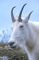 Mountain Goat in Glacier National Park, Montana