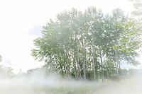 """France, Loir-et-Cher (41), Chaumont-sur-Loire, domaine de Chaumont-sur-Loire, dans les prés du Goualoup, """"Cloud Installation #07240 Standing Cloud"""" par Fujiko Nakaya, sculpture de brume dans un bosquet de bouleaux"""