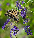 Western Tiger Swallowtail Butterfly<br /> Pterourus rutulus July 30, 2014. &copy; Fitzroy Barrett