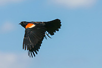Red-winged Blackbird (Agelaius phoeniceus) male, in flight (Indiana)