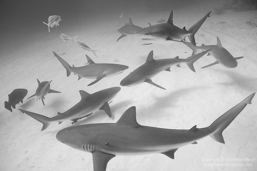 Grand Bahama Island, The Bahamas; eight Caribbean Reef Sharks (Carcharhinus perezi) swimming circles over the sandy bottom
