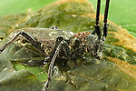 Whitespotted Sawyer Long-Horned Beetle, Monochamus scutellatus, infested with mites