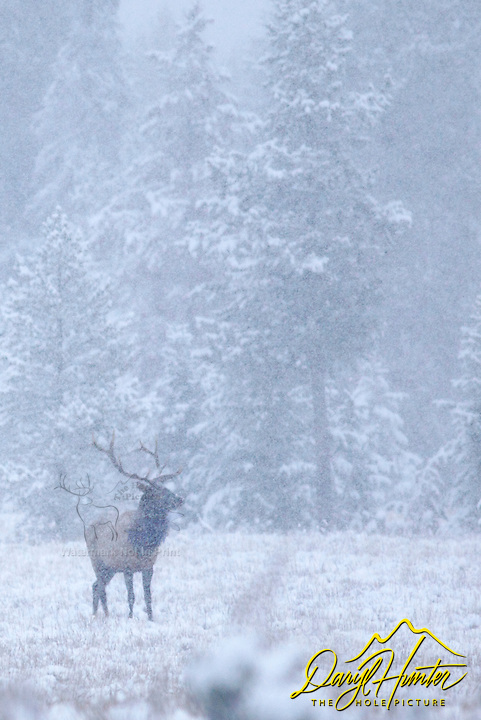 Bull elk, snowstorm, grand teton national park, jackson hole, wyoming