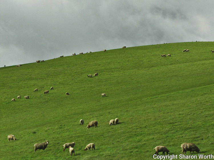 Winter rains turn the hills east of Mount Diablo into a feast for these sheep.