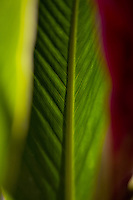 Close up of red ginger and leaf