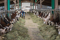 France, Calvados (14), Pays d' Auge, Saint-Philbert-des-Champs, Vaches normandes à l'étable  chez Jerôme Spruytte producteur de Pont-l'évêque  // France, Calvados, Pays d' Auge, Saint Philbert des Champs, normande cows in the stable Jerome Spruytte , Pont-l'Évêque cheese producer