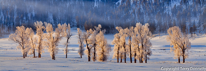 Yellowstone National Park, Wyoming: Winter morning sun on frosted cottonwood trees in the  Lamar Valley