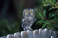 Western Screech Owl, Megascops kennicottii, perched on fence hunting insects; Sonoran Desert, Arizona