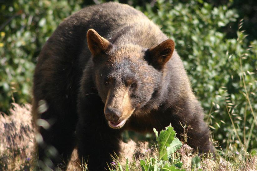 BELLIGERENT BLACK BEAR