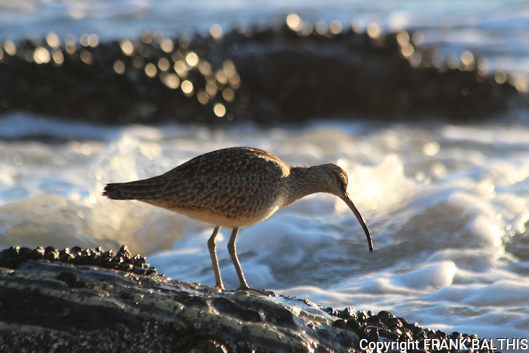 Whimbrel at low tide in Santa Barbara