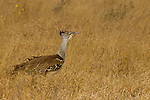 Kori Bustard (Ardeotis kori), Kruger National Park, South Africa