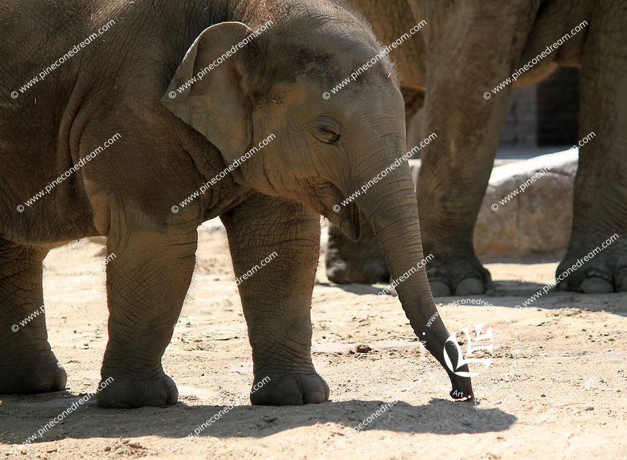 Stock image of a baby elephant in Berlin zoological park.<br />
