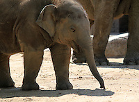 Stock image of a baby elephant in Berlin zoological park.<br /> <br /> (For Editorial use only)