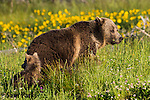 Grizzly bear sow and young cub in wildflowers. Yellowstone National Park, Wyoming.