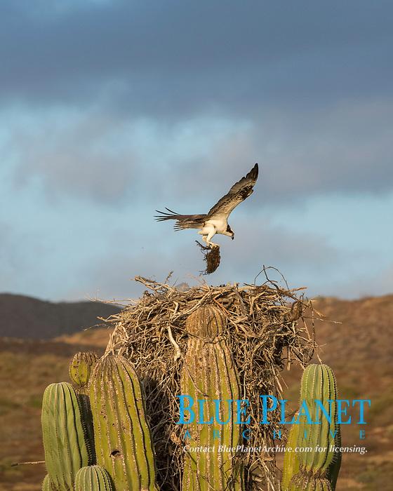 western osprey, Pandion haliaetus, adult, on nest made over Mexican giant cardon or elephant cactus, Pachycereus pringlei, Baja California, Mexico