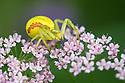 Goldenrod Crab Spider female {Misumenia vatia} waiting to ambush insect prey on Greater Burnet-saxifrage {Pimpinella major} Nordtirol, Austrian Alps. June.