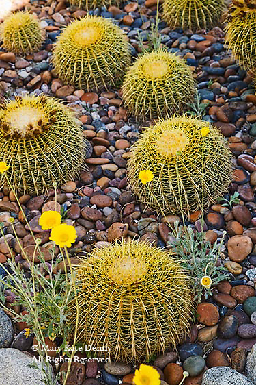 Yellow spiney Cacti in semi circular row on river rocks