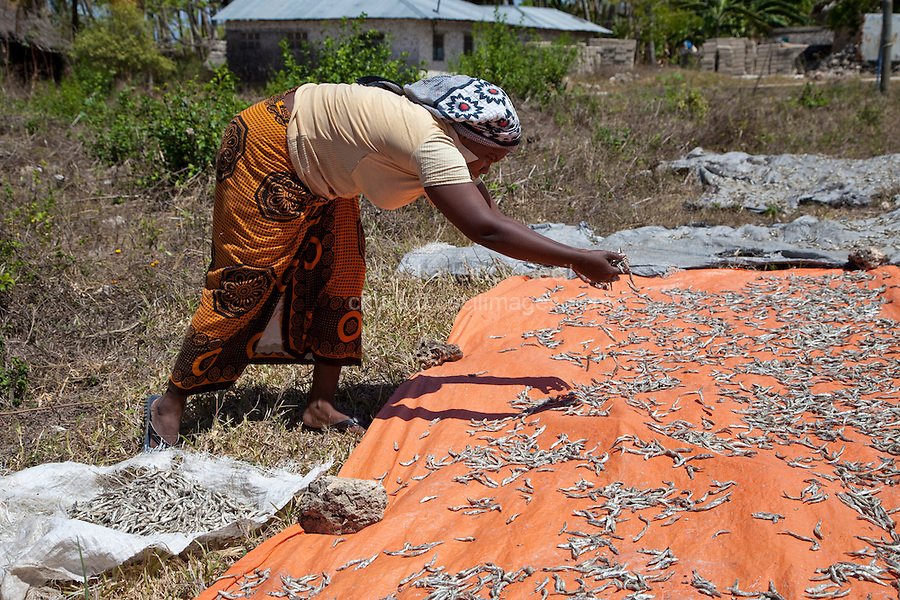 Zanzibar, Tanzania.  Lady Spreading Anchovies to Dry in Sun.  The lady wears a khanga cloth around her waist.