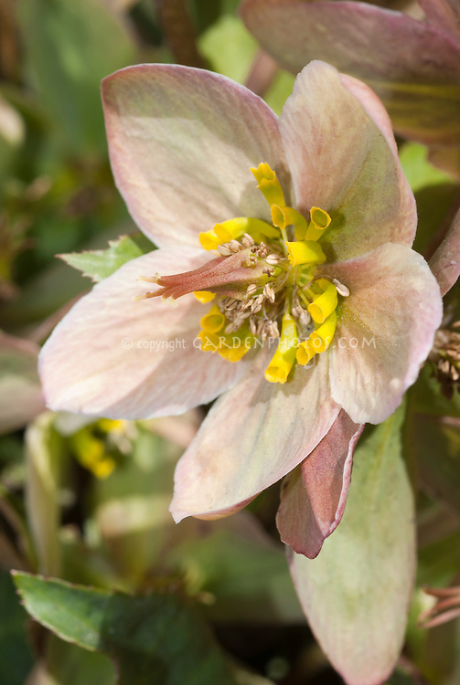Hot Plant Hellebores: Plant & Flower Stock Photography