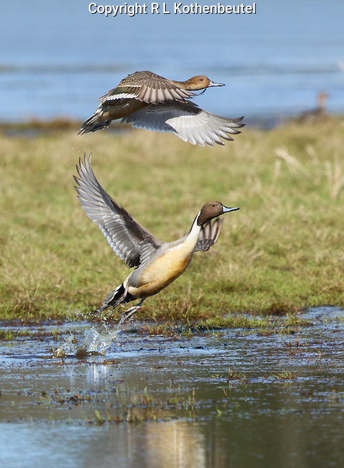 A pair of northern pintails take flight from a flooded field<br />