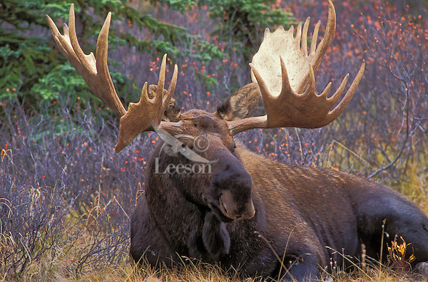"""BULL MOOSE. The name 'moose"""" is derived from the Algonkian name that means """"eater of twigs"""". Autumn. Denali National Park, Alaska. U.S.A..(Alces alces)."""
