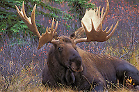 "BULL MOOSE. The name 'moose"" is derived from the Algonkian name that means ""eater of twigs"". Autumn. Denali National Park, Alaska. U.S.A..(Alces alces)."