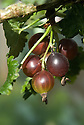Jostaberry, mide June. A cross between a gooseberry and a blackcurrant.