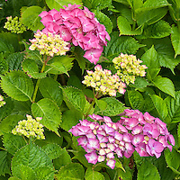 Pink Hydrangea flowers, Washington