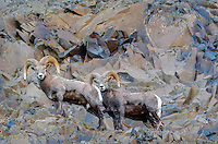 Bighorn Sheep (Ovis canadensis) rams near the John Day and Columbia Rivers in North Central Oregon.  October.   Note: These sheep were formerly known as California Bighorn, but are now classified with Rocky Mountain Bighorn.