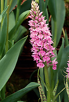 Dactylorhiza maculata 'Madame Butterfly', terrestrial hardy orchid