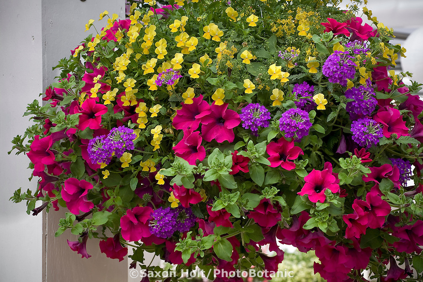 Fragrant aromatherapy hanging basket with trailing petunia 'Surfinia Giant Purple', verbena 'Temari Blue' and pansy 'Violina Yellow' at Jackson & Perkins / Suntory plant display at CA Pack Trials