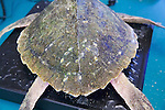 Marks On Olive Ridley Sea Turtle, Welfleet Bay Wildlife Sanctuary, Audubon