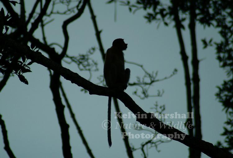 A silhoutte image of a Proboscis Monkey in a tree.