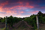 Dusk in the vineyards at Wilyabrup, in the renowned wine region of Margaret River, Western Australia, AUSTRALIA.
