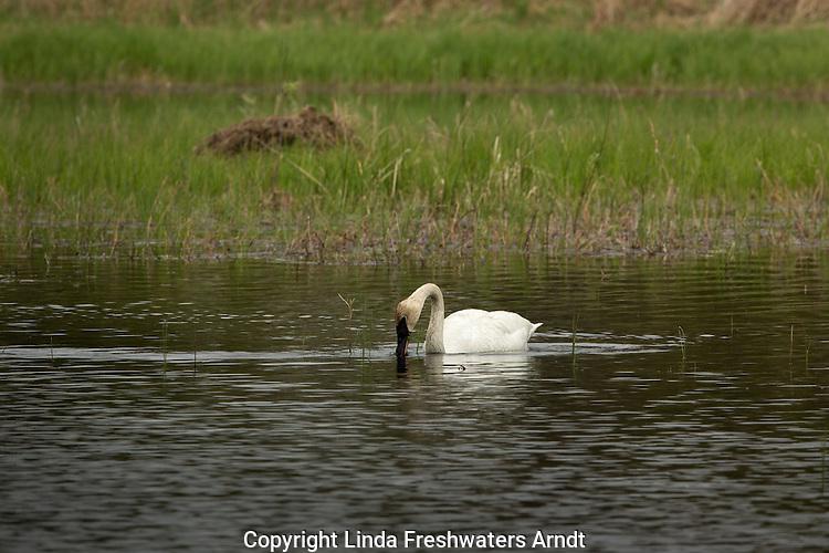 Trumpeter swan feeding on a wilderness lake in Wisconsin