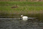 Trumpeter swan feeding on a wilderness lake in Wisconsin