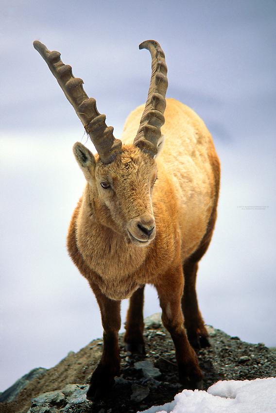 Ibex (mountain goat), near Zermatt, Switzerland